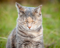 Happy Ginger and Grey Tortoiseshell Tabby Cat with Eyes Closed Stock Photography