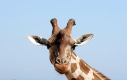 Happy giraffe. Close up of a friendly and a curious female giraffe Royalty Free Stock Photo