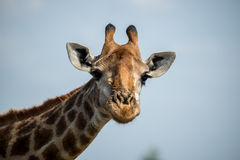 Happy Giraffe. A giraffe with a subtle smile on his silly face Royalty Free Stock Photos