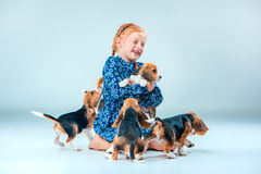 The happy girl and beagle puppies on gray background Stock Photos