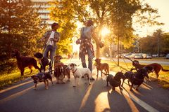 Happy girl and man dog walker with dogs enjoying in walk stock photography