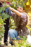 Happy girl picking grapes Royalty Free Stock Photography