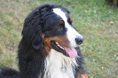 Happy Go Lucky Bernese Mountain Dog Royalty Free Stock Images