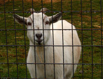 Happy-Go-Lucky Billy Goat Stock Photography