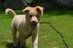 Happy Go Lucky Toller Puppy Dog on a Leash Stock Images