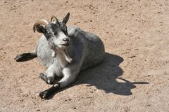 Happy Goat. This goat seem to be very happy and content with life Royalty Free Stock Photo