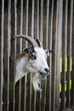 Happy goat. Goat in a nature park in bavaria, germany Stock Image