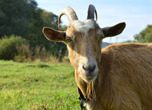 Happy Goat brown royalty free stock photography