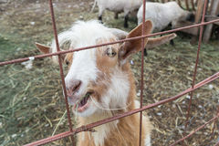 Happy goat Stock Photos