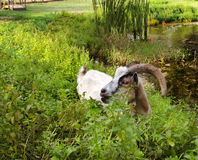 Happy Goat In Peppermint Royalty Free Stock Photography