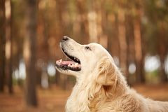 Cuttie labrador doggy walking in the forest ourdoors. Happy golden labrador retriver walking and playing in the forest. Dog having fun with owner on the nature Stock Photo