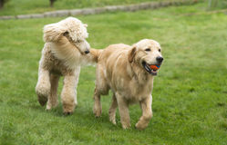 Happy Golden Retreiver Dog with Poodle Playing Fetch Dogs Pets royalty free stock photography