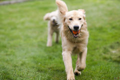 Happy Golden Retreiver Dog with Poodle Playing Fetch Dogs Pets. Two full size dogs play fetch the ball together stock photos