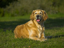 Happy Golden Retriever. Gracious golden retriever lies on the grass and smiles Royalty Free Stock Photos