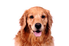 Happy Golden retriever. Golden retriever smiling for the camera stock photo