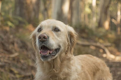 Happy golden retriever dog in forest royalty free stock photo
