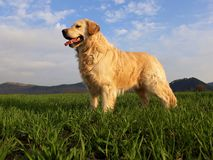 Happy golden retriever dog on the green field stock photography