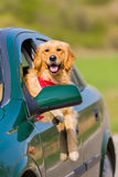 Happy golden retriever dog  with his head out the window of a ve Stock Photos