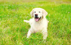 Happy Golden Retriever dog lying resting on grass in summer Stock Photos