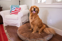 Happy golden retriever dog on a pillow Royalty Free Stock Image