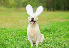 Happy Golden Retriever dog with rabbit ears sitting on grass Stock Image