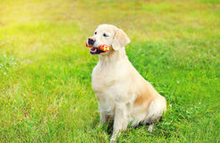 Happy Golden Retriever dog with rubber bone toy on grass Stock Images