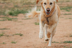 Happy Golden Retriever dog running and flicking up sand stock photography