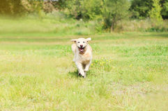 Happy Golden Retriever dog running on grass Stock Photography