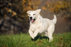 Happy golden retriever dog running outdoors in spring Stock Image