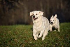 Happy golden retriever dog running outdoors stock images