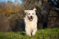 Happy golden retriever dog running outdoors in spring royalty free stock photography