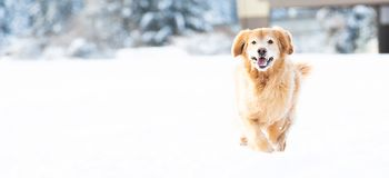 Happy golden retriever dog running and playing in the snow during winter royalty free stock photo
