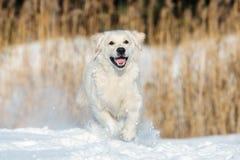 Happy golden retriever dog running in winter Royalty Free Stock Image