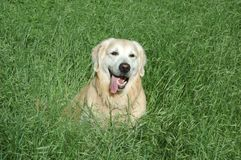 Happy golden retriever dog sitting in green grass Stock Photo