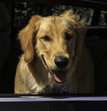 Happy Golden Retriever pup Royalty Free Stock Photo