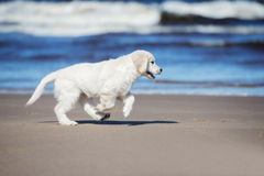 Happy golden retriever puppy on a beach Stock Images