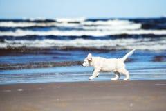 Happy golden retriever puppy on a beach Stock Photos