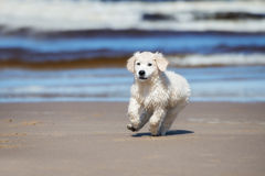 Happy golden retriever puppy on a beach Stock Image