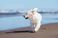 Happy golden retriever puppy on a beach Royalty Free Stock Image
