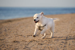 Happy golden retriever puppy running on a beach Royalty Free Stock Photo