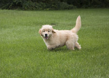 Happy Golden Retriever Puppy. Happy 8-week-old Golden Retriever puppy poses in green grass stock images