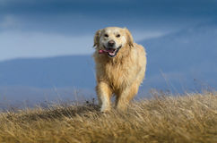 Happy Golden retriever. Running in nature Royalty Free Stock Photography