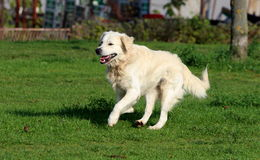 Happy Golden Retriever Running Royalty Free Stock Photography