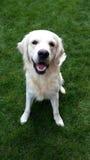 Happy golden retriever. Standing in the grass Stock Image