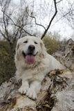 Happy golden retriever in the woods royalty free stock photography