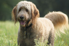 Happy Golden Doodle Dog. A happy golden doodle dog standing in a grassy field wagging his tail Royalty Free Stock Photos