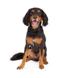 Happy Gordon Setter Smiling Stock Photos