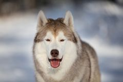 Happy, gorgeous and free Siberian Husky dog sitting on the snow in the fairy forest in winter. Close-up Portrait of happy, beautiful and free Siberian Husky dog stock photo