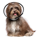 Happy grateful havanese dog is recovering and wearing a funnel c. Sick and happy chocolate havanese dog with a funnel collar will be healthy soon again, isolated stock photo