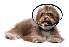 Happy grateful havanese dog is recovering and wearing a funnel c. Sick and happy chocolate havanese dog with a funnel collar will be healthy soon again, isolated stock image